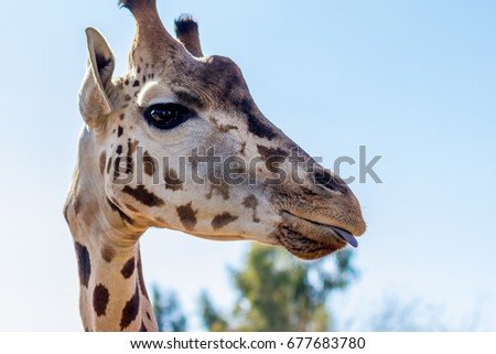 Giraffe slightly sticking tongue out