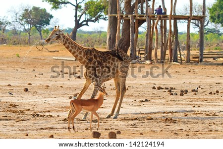 Giraffe spraying water after having a drink from a puddle, with a hide renovation in the background. - stock photo