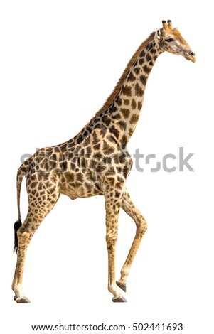 Giraffe standing and lifting a foot isolated on white background