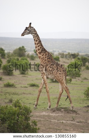 Giraffe standing in the Amboseli National Park in Kenya