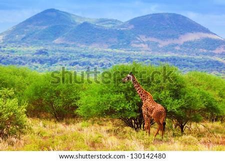 Giraffe standing on grassland savanna. Safari in Tsavo West, Kenya, Africa - stock photo