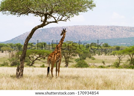 Giraffe standing under a tree and rests in the shadow. Photography from Tanzania, Serengeti Africa. - stock photo