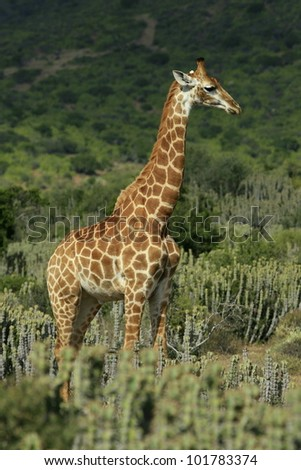 Giraffe stands in the open in this portrait.