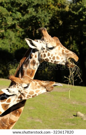 Giraffe sticking out its tongue to get some food from its friend - stock photo