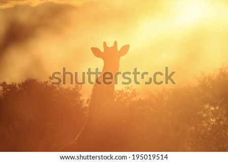 Giraffe Sunset - Wildlife Background from Africa - Wonderful Colors and Beautiful Harmony from Nature