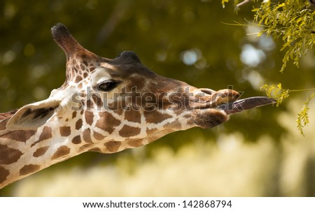 Giraffe Tonuge - stock photo