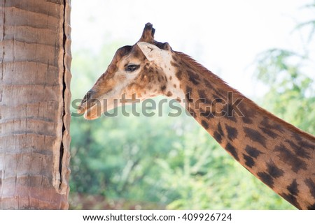 giraffe try to hide from afternoon light