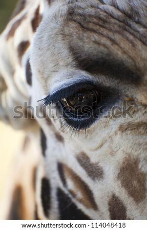 Giraffe   Up Close and Personnel - stock photo