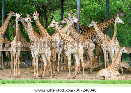 Giraffe waiting food. - stock photo