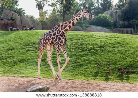 Giraffe walking - stock photo