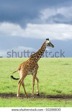 giraffe walking along savanna - stock photo