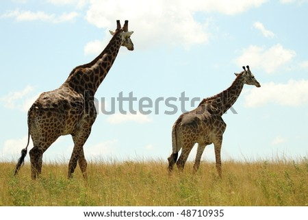 Giraffe walking into distance beautiful sky - stock photo