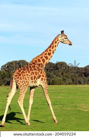 Giraffe walking on a grass - stock photo