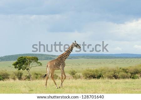 Giraffe walking through the grasslands (Masai Mara; Kenya) - stock photo