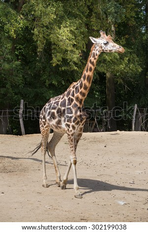 Giraffe walks. In the background trees and fence - stock photo