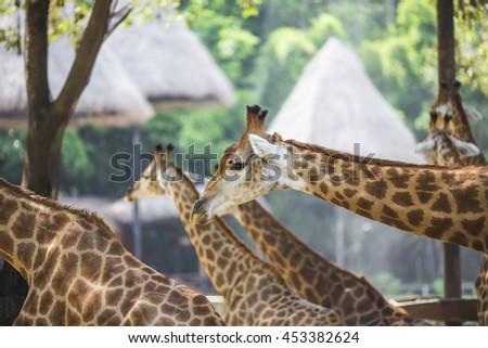 Giraffe, wild animal - stock photo