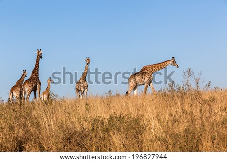 Giraffe Wildlife Animals Wildlife giraffe animals alert in habit wilderness safari park reserves over the rugged terrain.