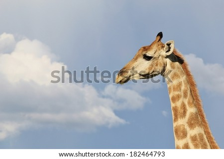 Giraffe  - Wildlife Background from Africa - Blue brilliance and Rainbow beauty