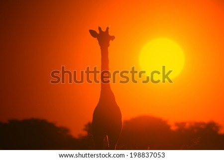 Giraffe - Wildlife Background from Africa - Golden Light and Nature Colors
