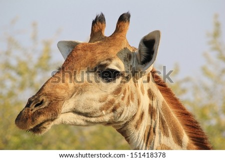 Giraffe - Wildlife Background from Africa - Portrait of Color, Grace and Elegant Wonder