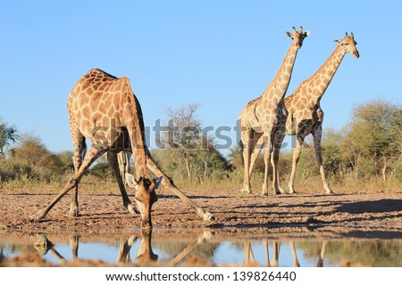 Giraffe - Wildlife from Africa - A cow bows down for a drink whilst two look on, standing in unison under the infinite blue sky that never seem to end.  Photo taken on a game ranch in Namibia. - stock photo