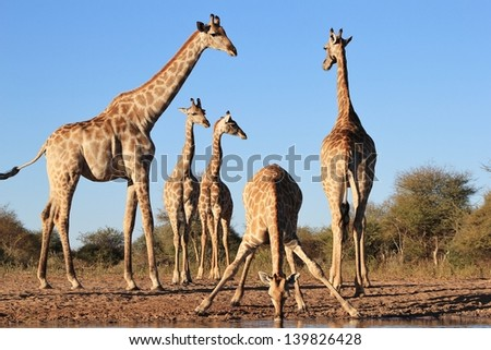 Giraffe - Wildlife from Africa - A perfect portrait of all angles.  Shapes, curves, elegance and splendor fill this portrait of blue and yellow.  Photo taken on a game ranch in Namibia. - stock photo