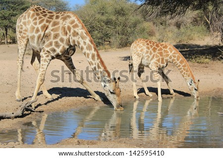 Giraffe - Wildlife from Africa - Animal Babies.  Background of peace, tranquility and wonder as a cow and calf share a watering hole on a game ranch in Namibia. - stock photo