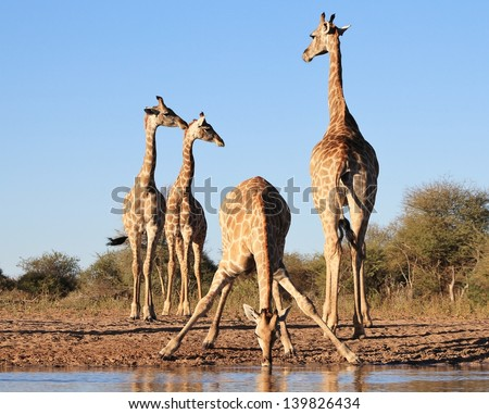 Giraffe - Wildlife from Africa - Perfect angles.  Composition to die for as this group of gentle giants gather around a watering hole on a game ranch in Namibia.  Shapes, curves, colors and lines. - stock photo