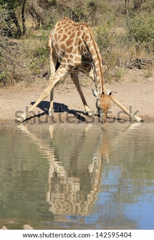 Giraffe - Wildlife from Africa - With her reflection perfect, this cow shapes out life of Nature.  Photographed on a game ranch in Namibia. - stock photo