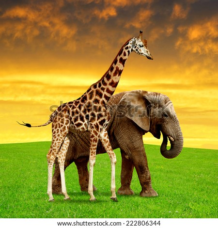 giraffe with elephant in the sunset - stock photo