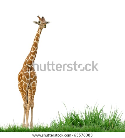 giraffe with green grass isolated - stock photo