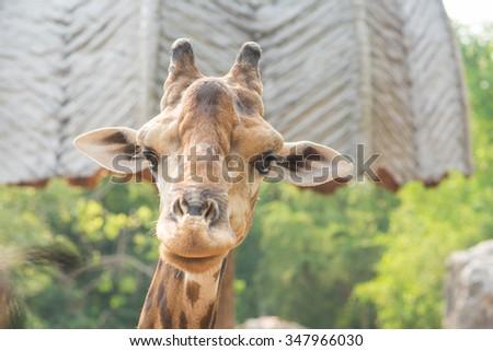 Giraffe with horizontal head shot - stock photo