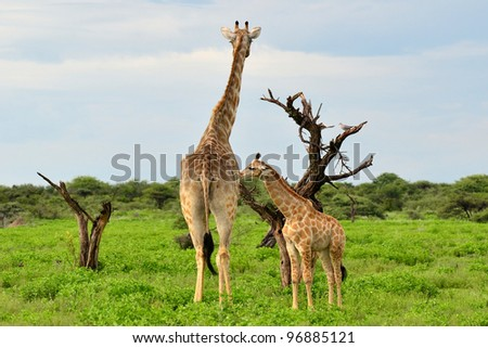 giraffe with its young one,Etosha - stock photo