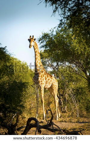 Giraffe with long neck in the wild near Kasane in Botswana, Africa - stock photo
