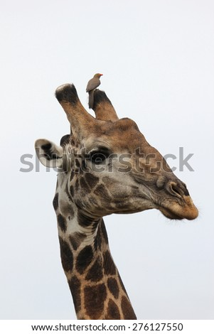 Giraffe with red-billed Oxpecker on his horn - stock photo