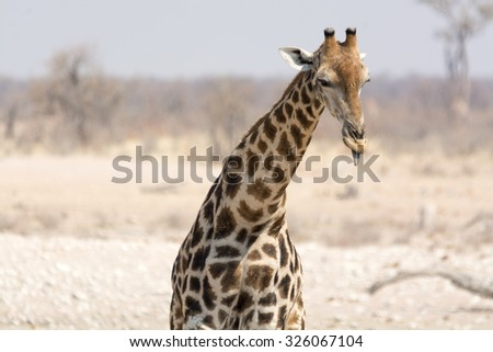 Giraffe with tongue out. Seen during safari tour at Namibia, Africa.