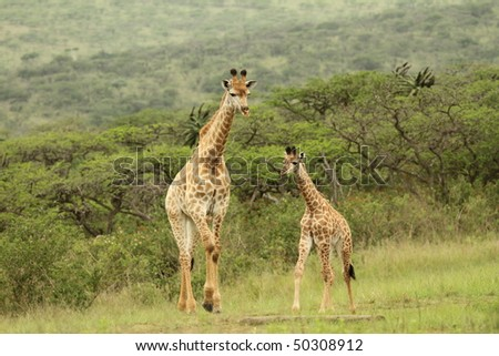 Giraffe young with adult - stock photo
