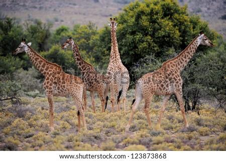 Giraffes - stock photo