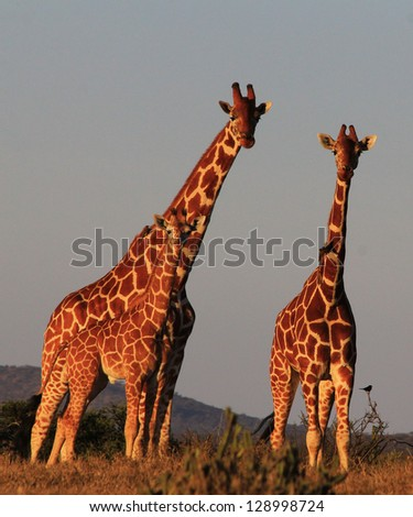 Giraffes - adults and young - stock photo