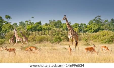 giraffes and impalas grazing in the savannah in kenya - national park masai mara - stock photo