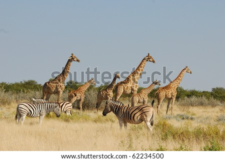 Giraffes and Zebras in Etosha