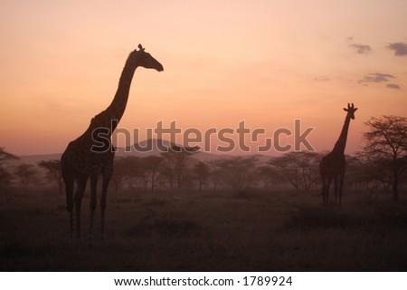 Giraffes at African Sunset, Serrengeti, Tanzania - stock photo