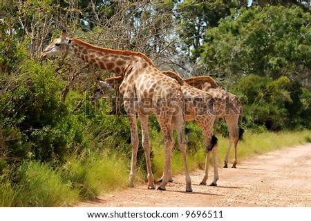 giraffes at grass - stock photo