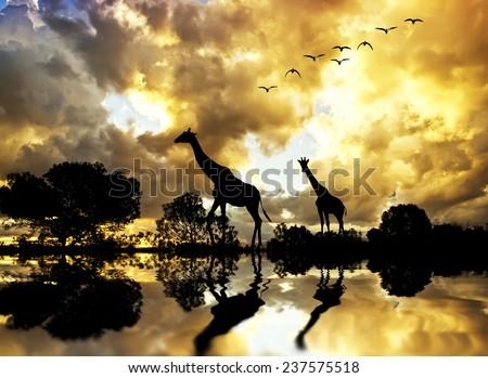 Giraffes between plants Mountain - stock photo