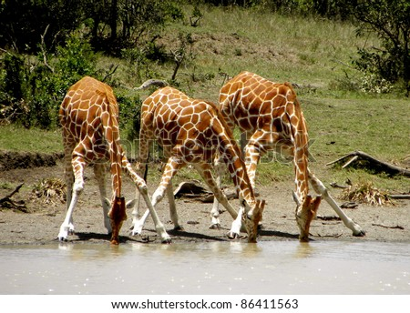 Giraffes drinking from a waterhole - stock photo