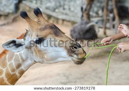 Giraffes eat lentils - stock photo