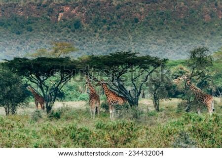 giraffes eating from bushes - stock photo