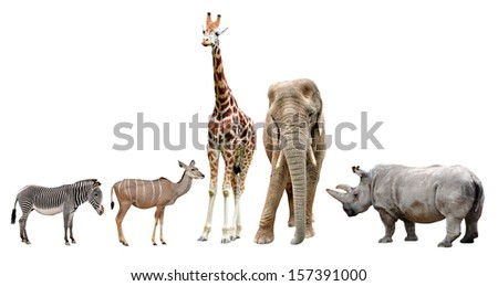 giraffes,elephant,rhino,kudu and zebra isolated on white  - stock photo
