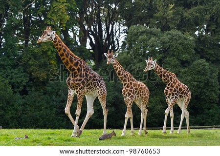 Giraffes family in the wildlife park