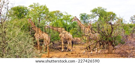 Giraffes (Giraffa camelopardalis) in Kruger National Park, South Africa - stock photo